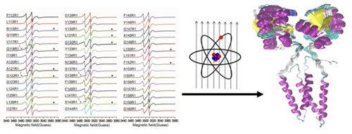 基于电子顺磁共振方法的跨膜转运蛋白三维结构解析研究获进展