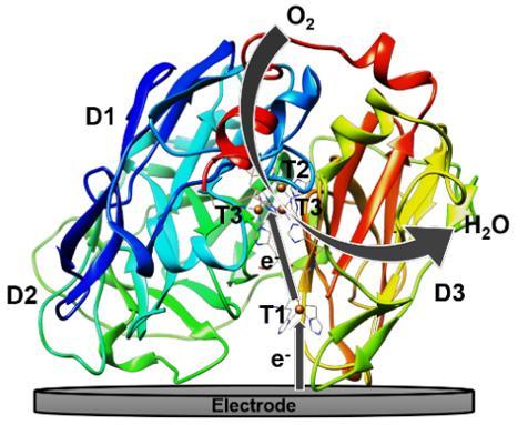 漆酶的蛋白分子结构及其直接电催化氧气还原的机理